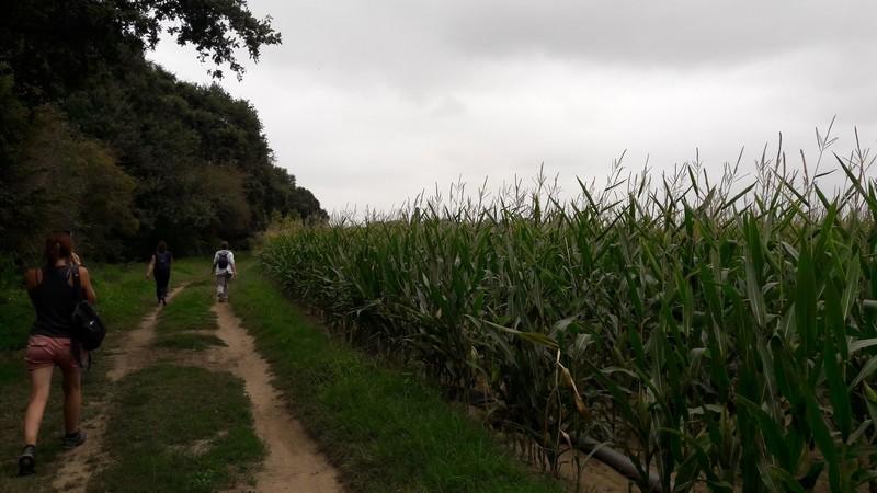 champ de maïs sur le circuit pédestre